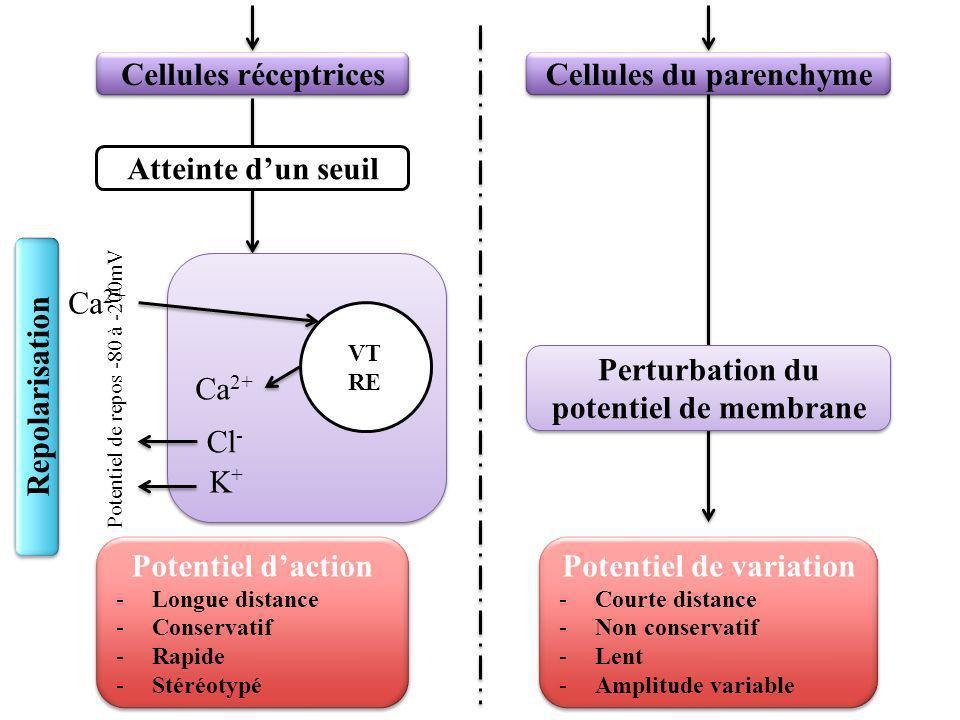 Cellules du parenchyme