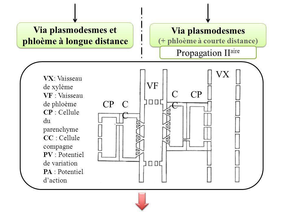 Via plasmodesmes et phloème à longue distance Via plasmodesmes