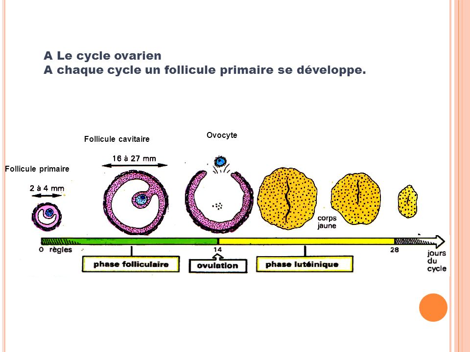 A Le cycle ovarien A chaque cycle un follicule primaire se développe.