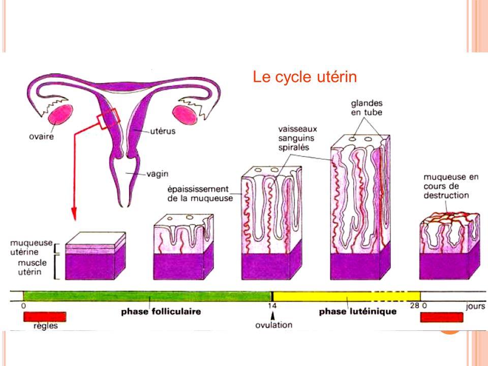 Le cycle utérin