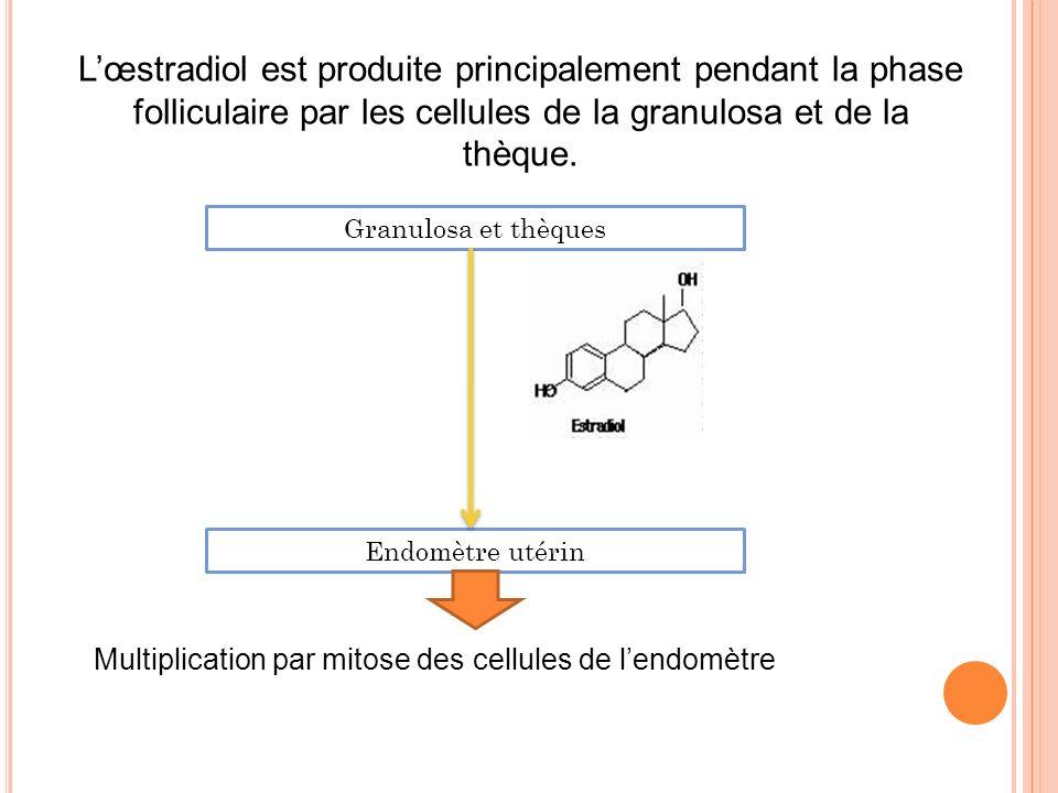 L'œstradiol est produite principalement pendant la phase folliculaire par les cellules de la granulosa et de la thèque.