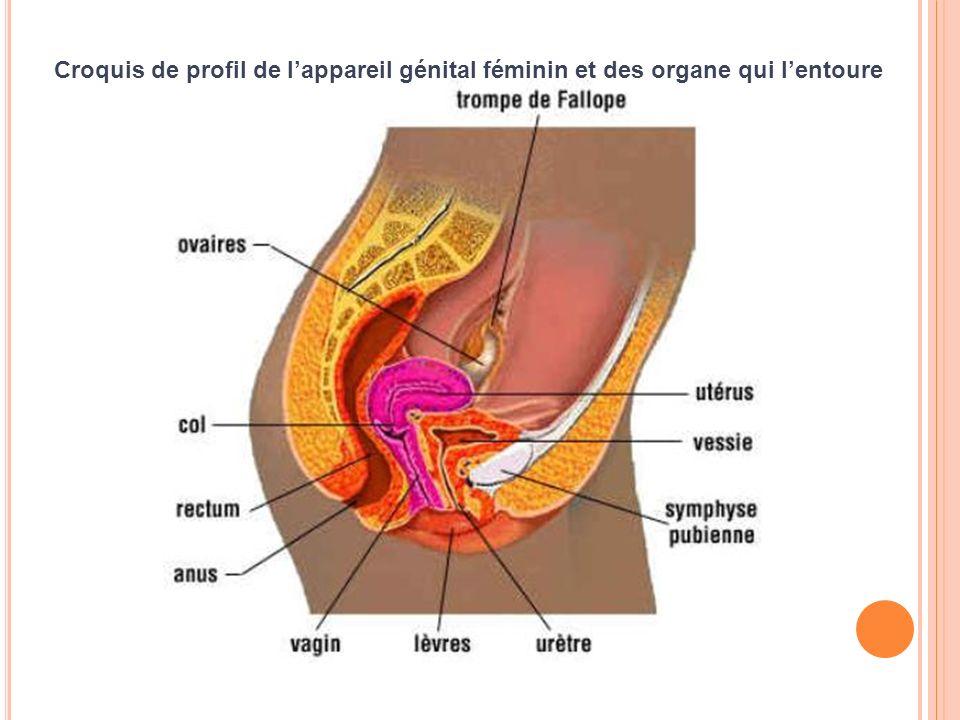 Croquis de profil de l'appareil génital féminin et des organe qui l'entoure
