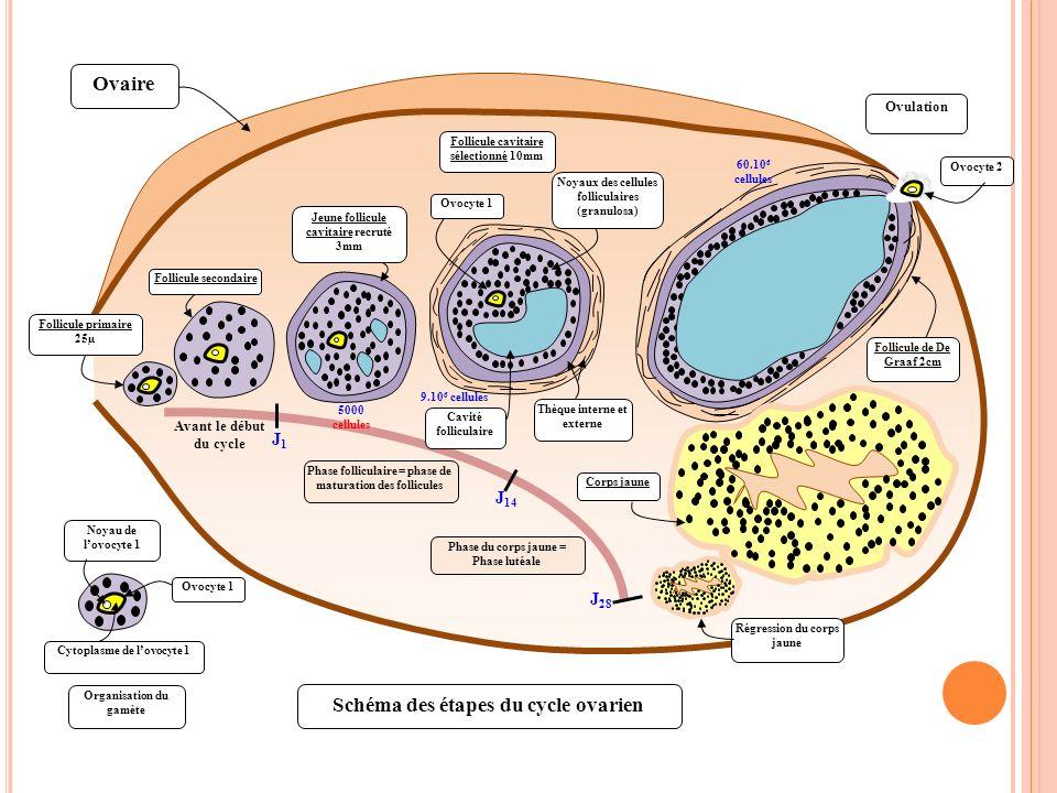 Ovaire Schéma des étapes du cycle ovarien