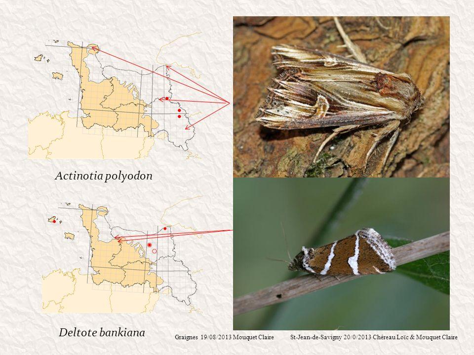 Actinotia polyodon Deltote bankiana