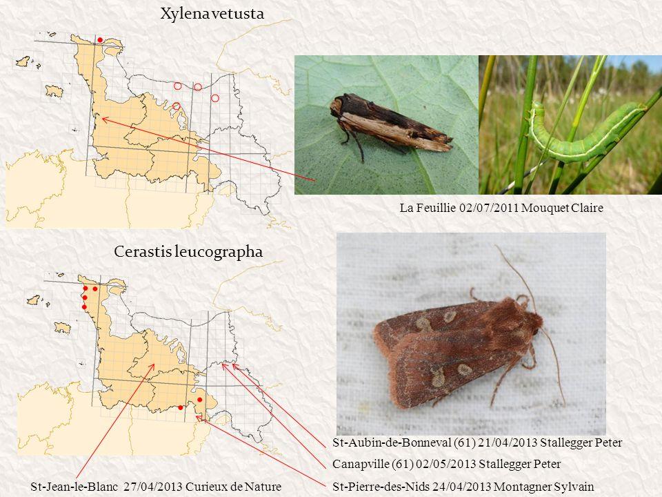 Xylena vetusta Cerastis leucographa