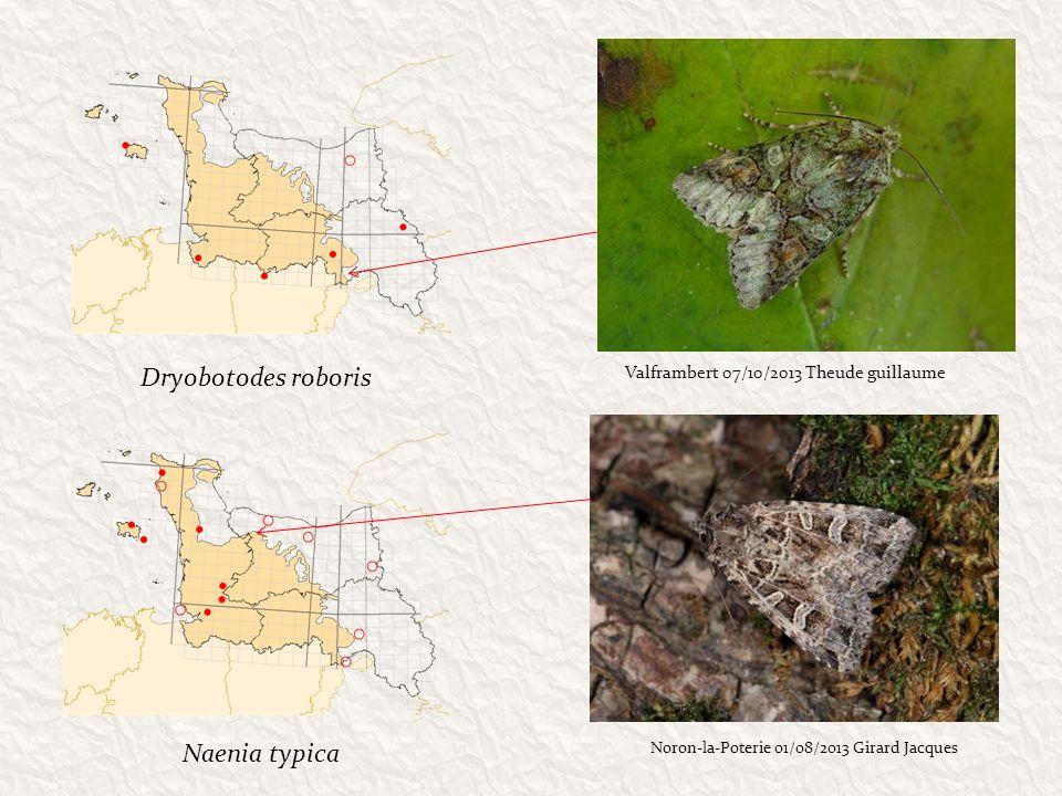 Dryobotodes roboris Naenia typica