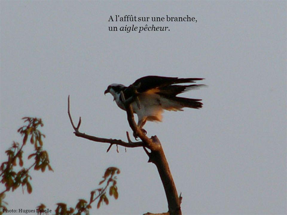 A l affût sur une branche, un aigle pêcheur.