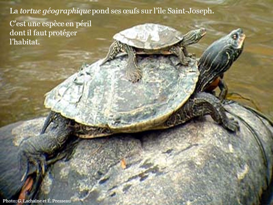 La tortue géographique pond ses œufs sur l'île Saint-Joseph.