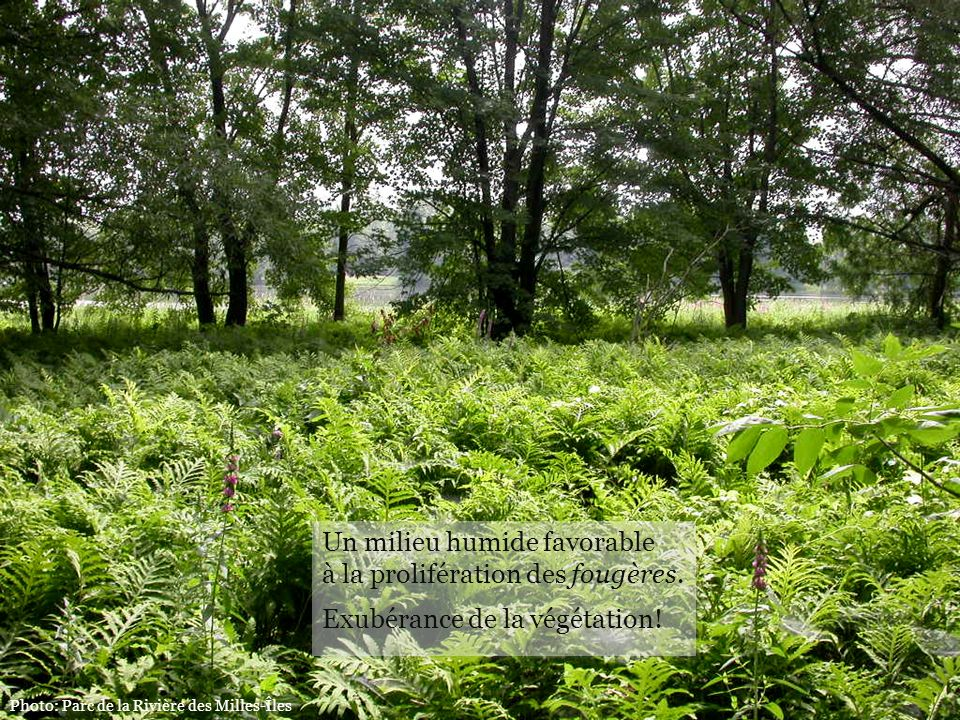 Un milieu humide favorable à la prolifération des fougères.