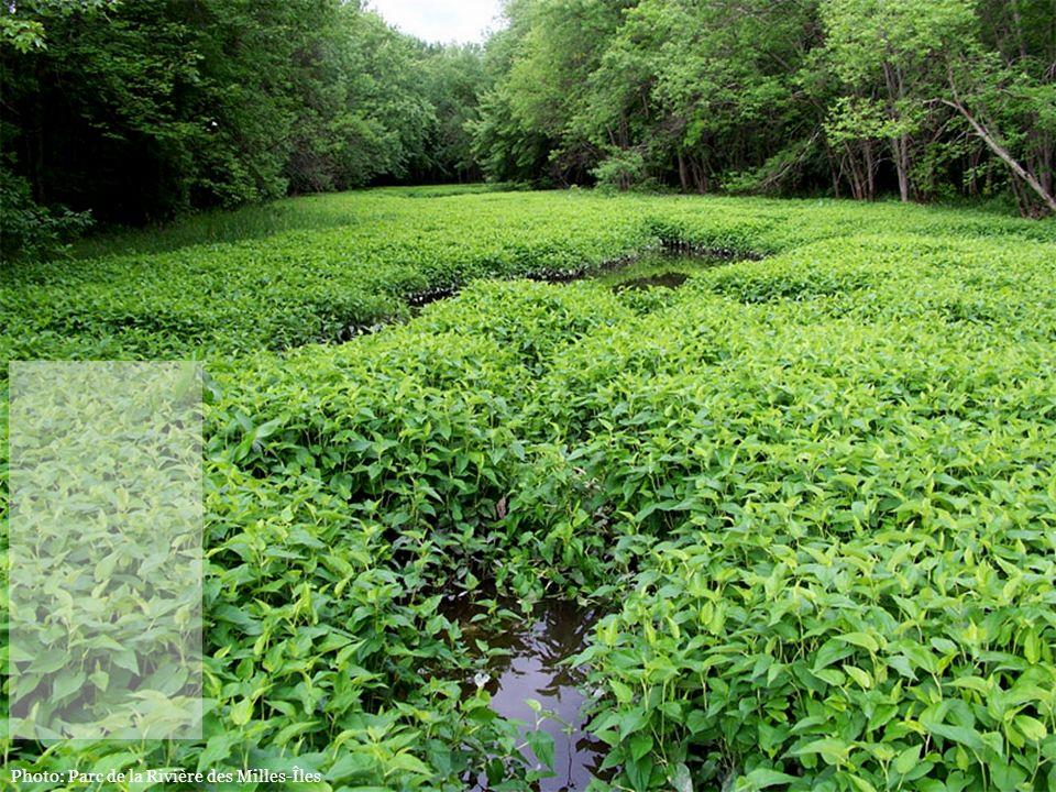 Protégeons l'habitat de l'une des plus grandes colonies de lézardelle penchée au Québec, une espèce en péril.