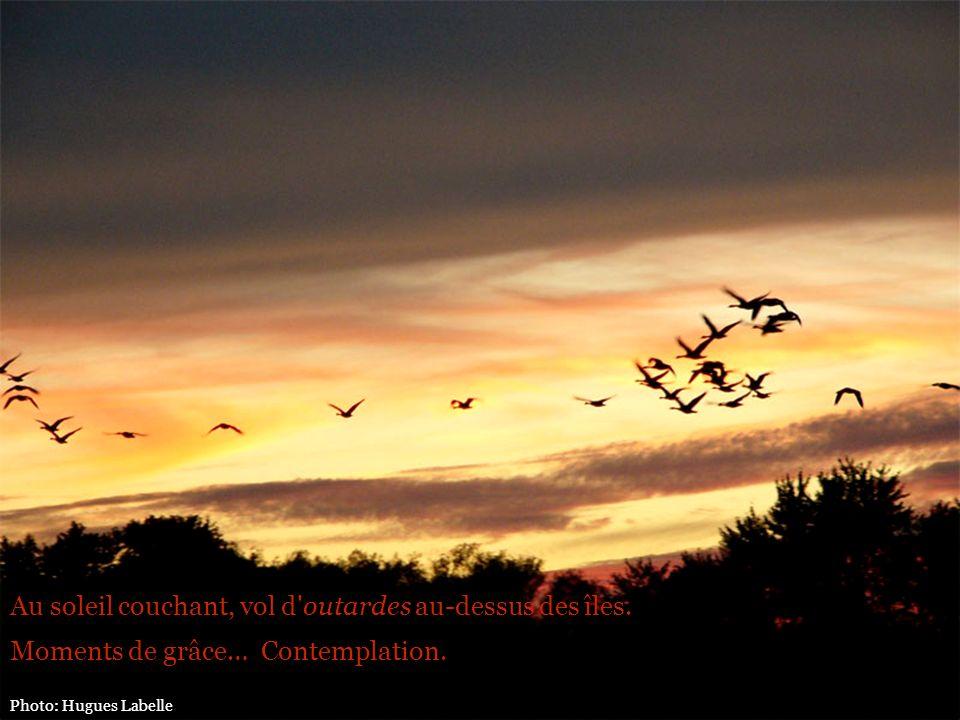 Au soleil couchant, vol d outardes au-dessus des îles.