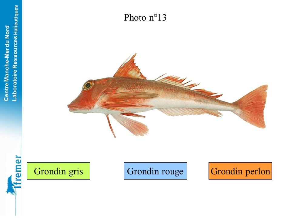 Photo n°13 Grondin gris Grondin rouge Grondin perlon