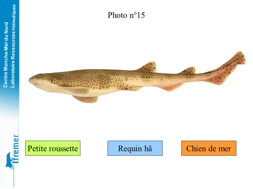 Photo n°15 Petite roussette Requin hâ Chien de mer