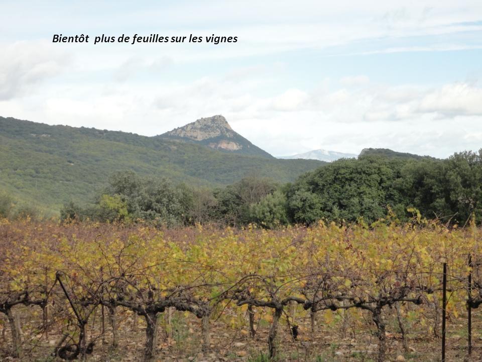 Bientôt plus de feuilles sur les vignes