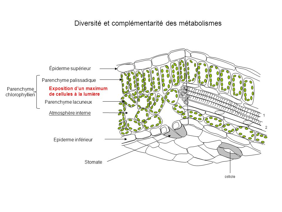 Parenchyme chlorophyllien