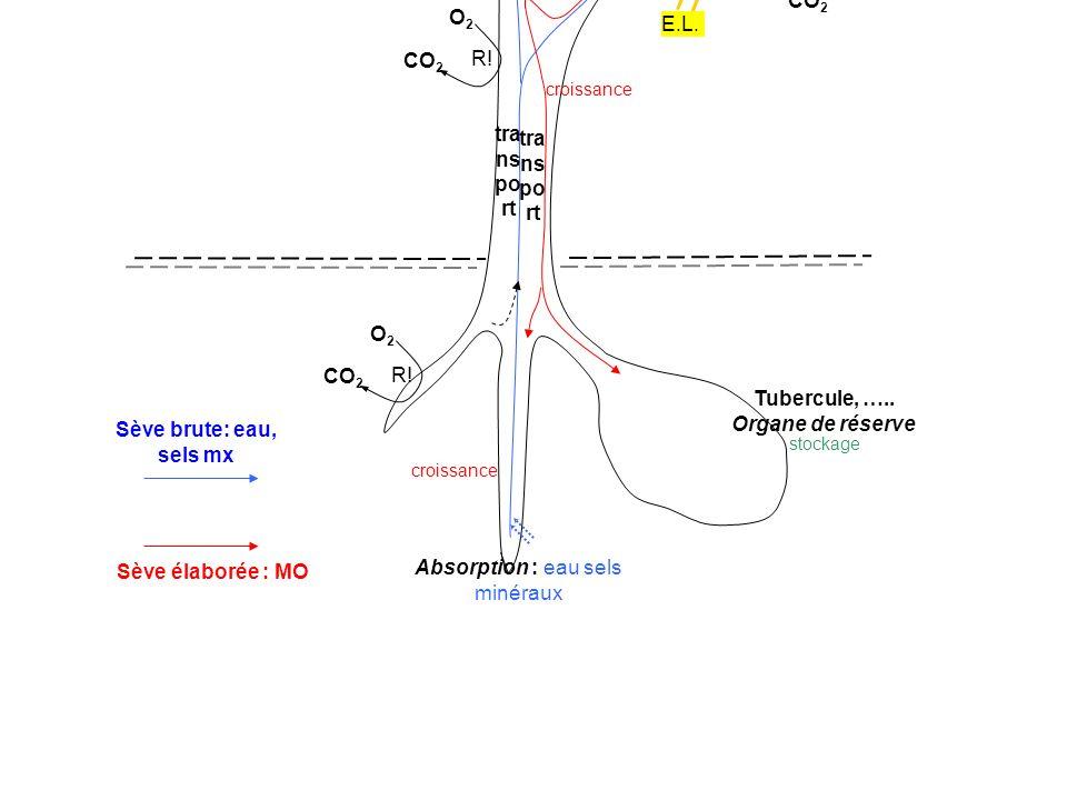Absorption : eau sels minéraux