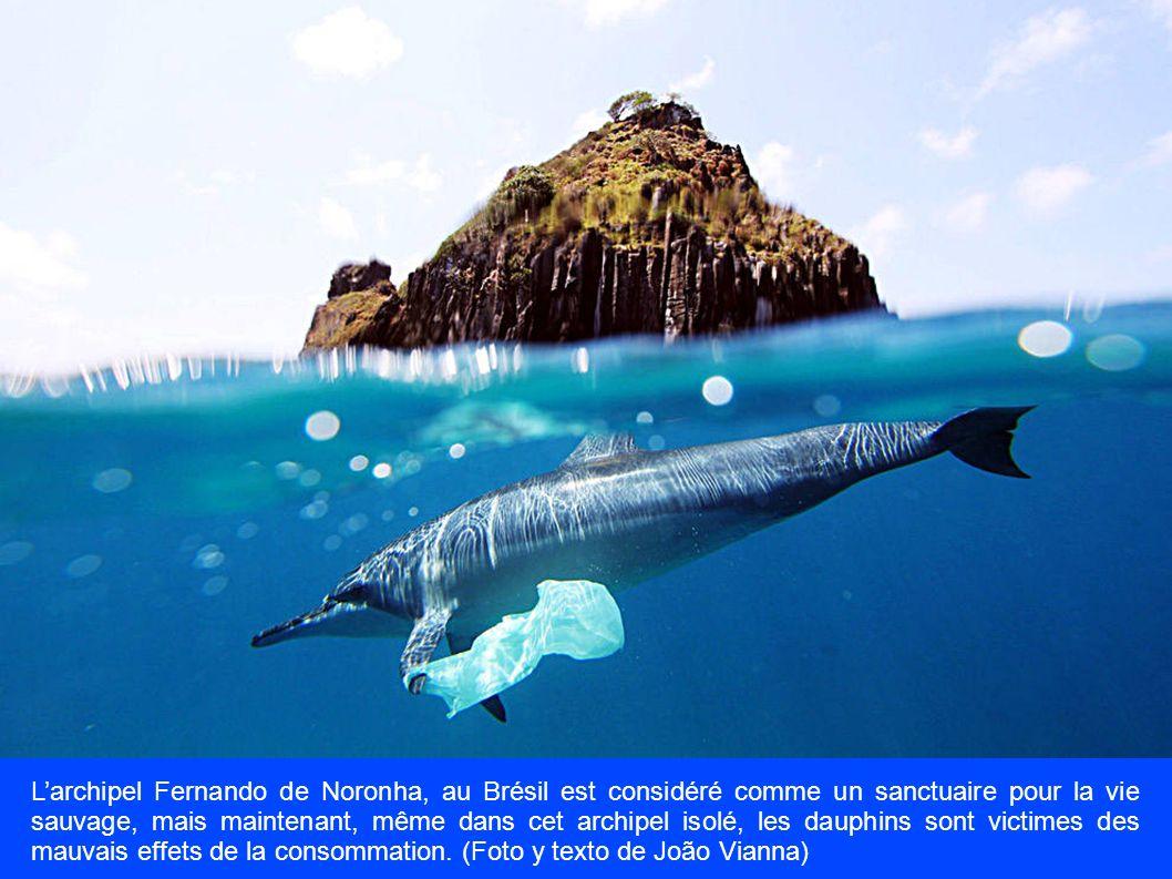 L'archipel Fernando de Noronha, au Brésil est considéré comme un sanctuaire pour la vie sauvage, mais maintenant, même dans cet archipel isolé, les dauphins sont victimes des mauvais effets de la consommation.