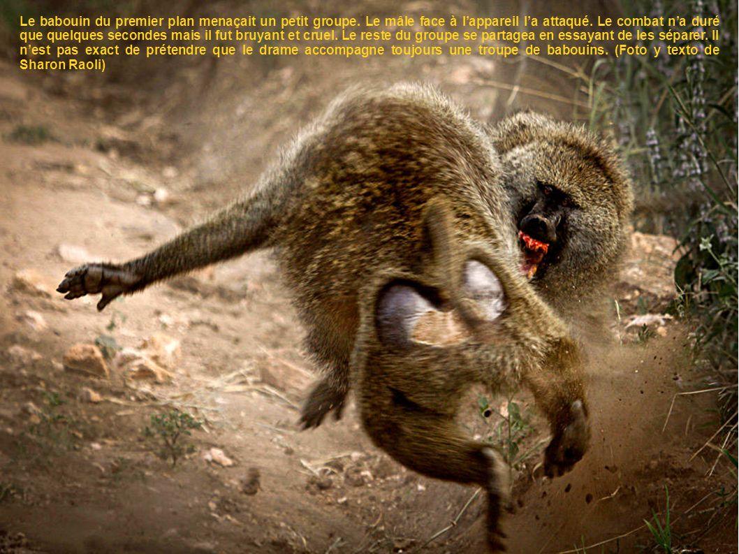 Le babouin du premier plan menaçait un petit groupe