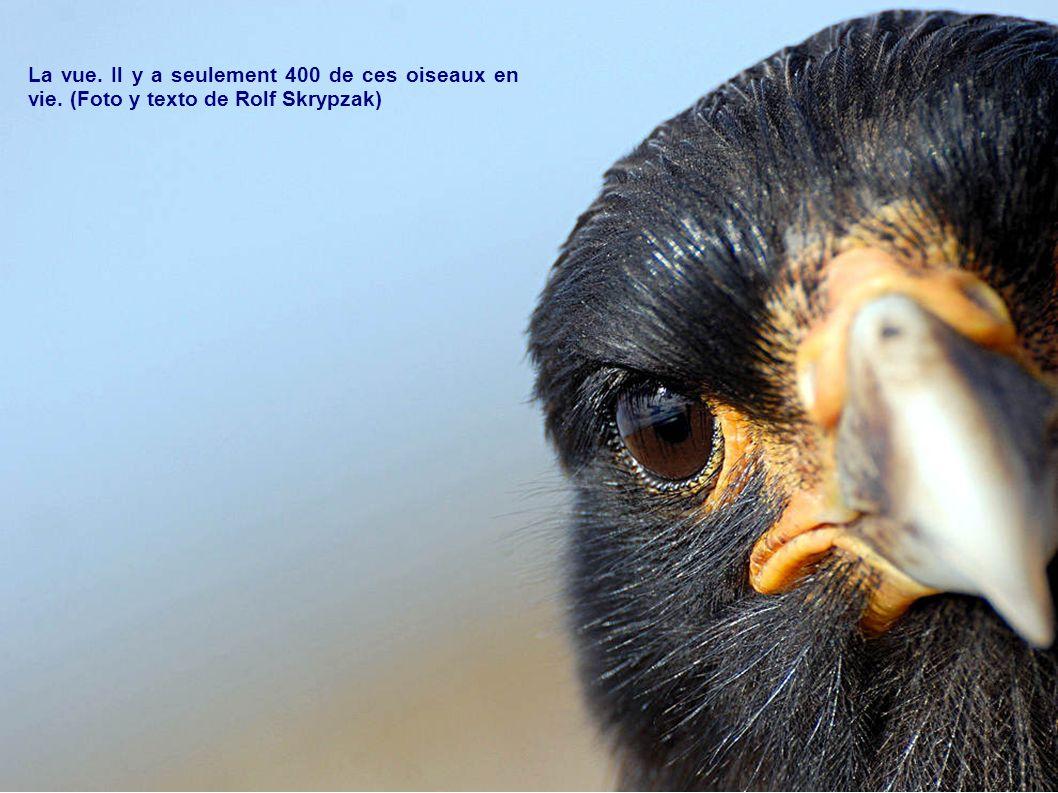 La vue. Il y a seulement 400 de ces oiseaux en vie