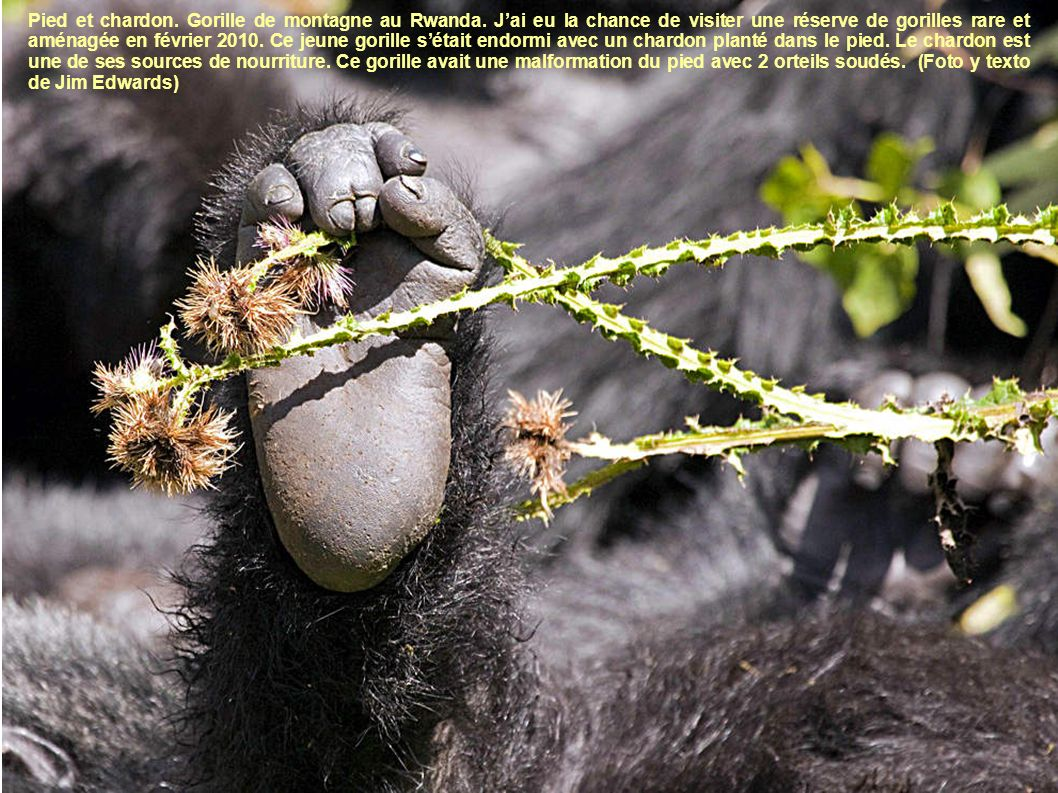 Pied et chardon. Gorille de montagne au Rwanda