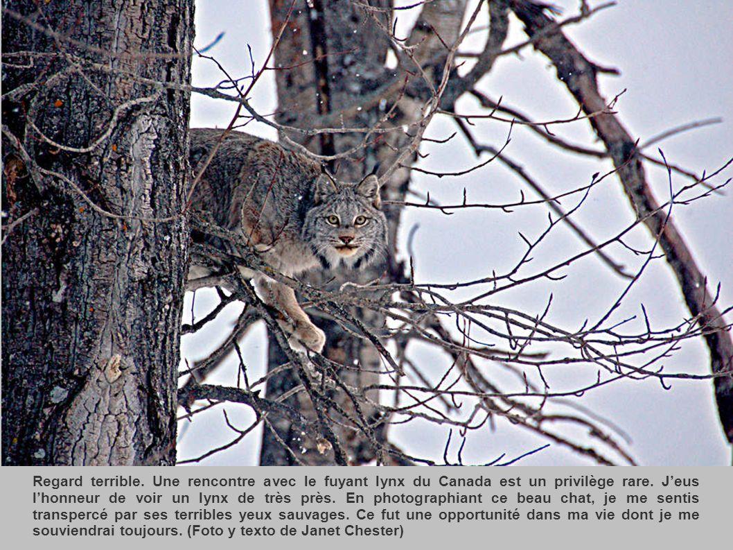 Regard terrible. Une rencontre avec le fuyant lynx du Canada est un privilège rare.