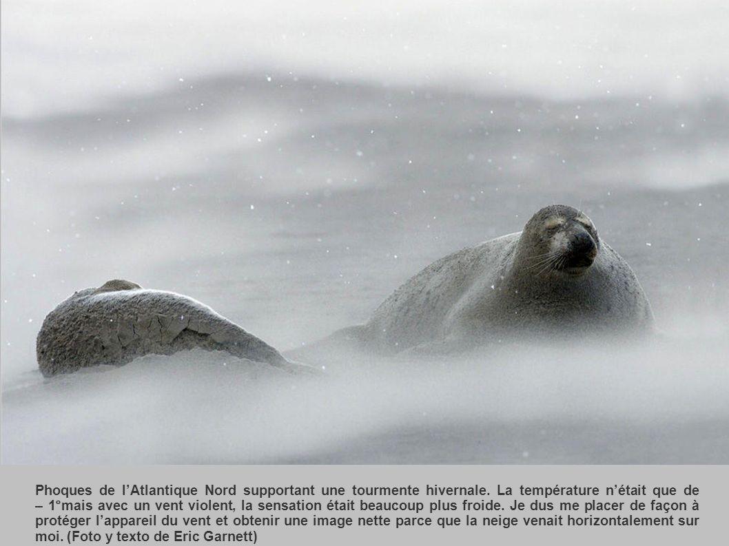 Phoques de l'Atlantique Nord supportant une tourmente hivernale