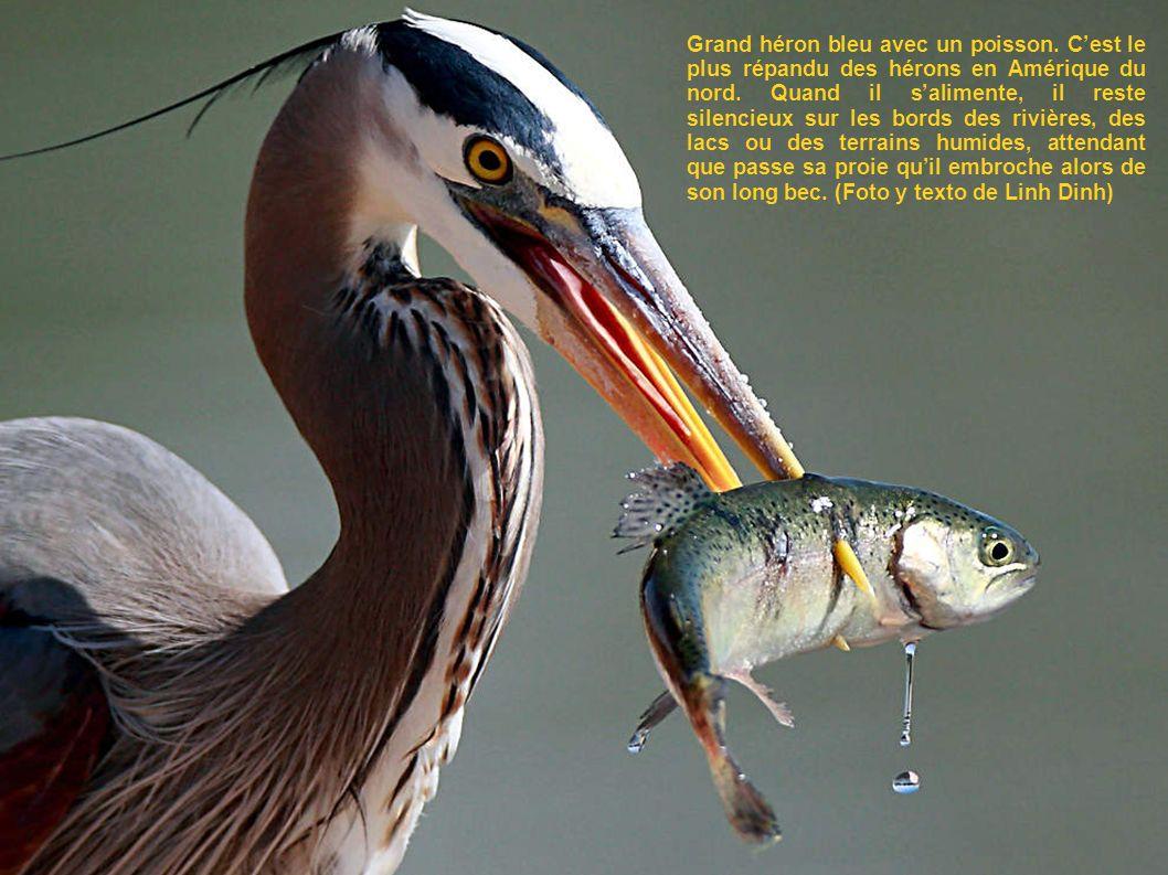 Grand héron bleu avec un poisson