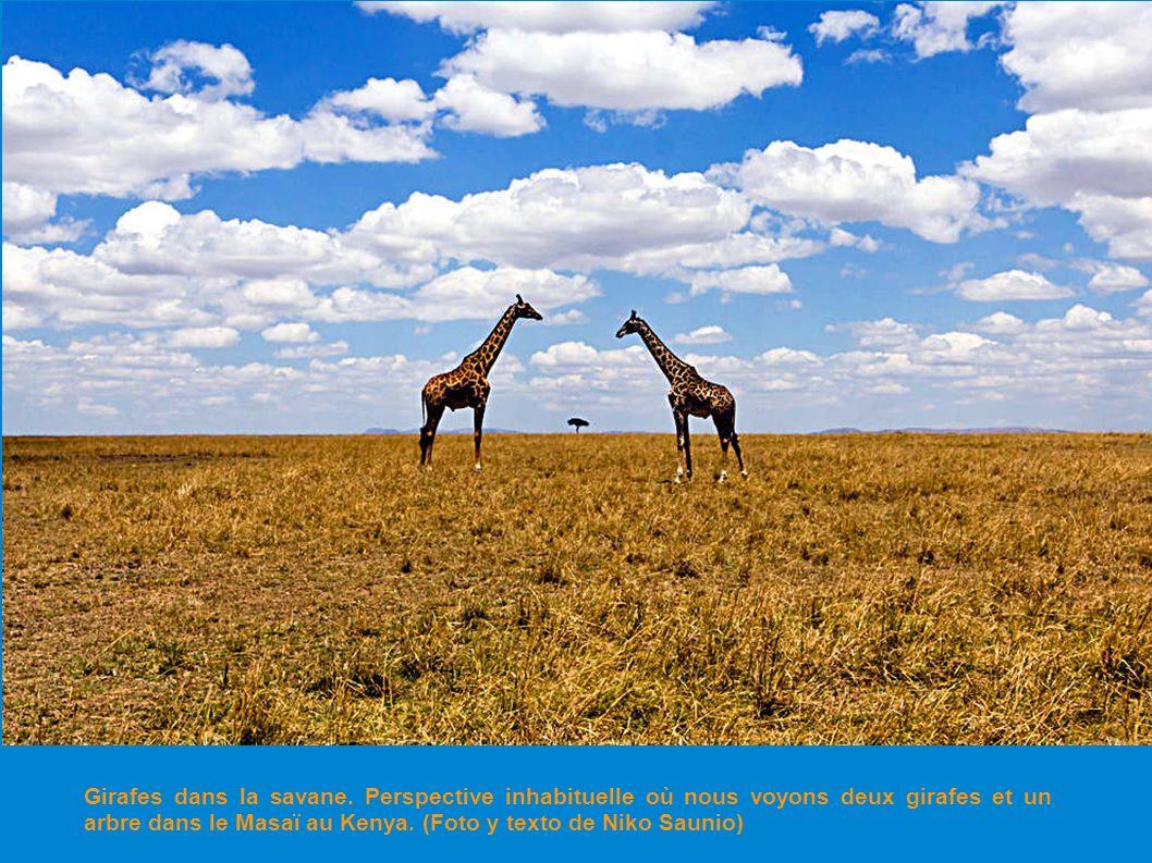 Girafes dans la savane.