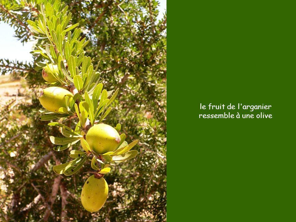 le fruit de l arganier ressemble à une olive