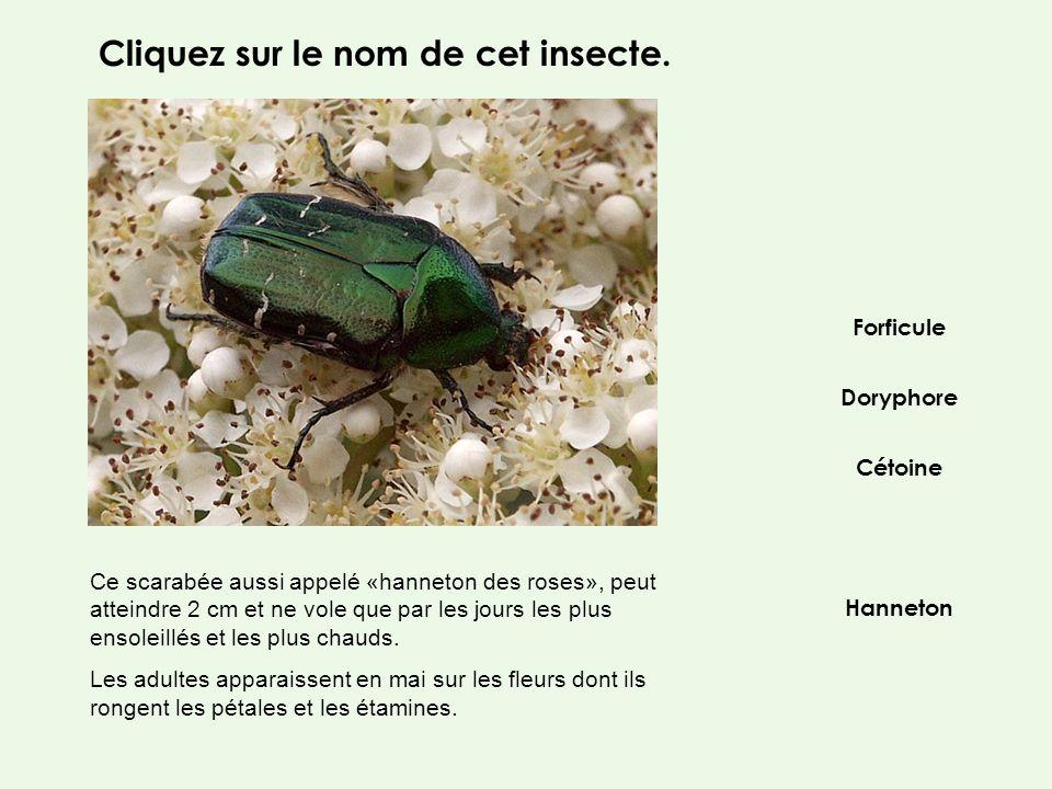 Cliquez sur le nom de cet insecte.
