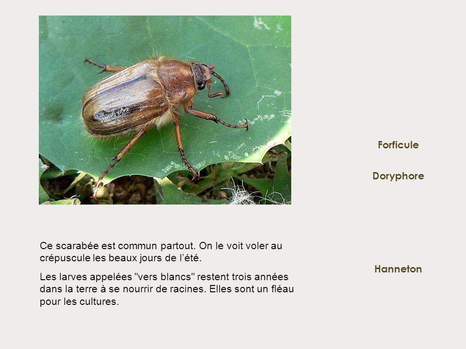 Forficule Doryphore. Ce scarabée est commun partout. On le voit voler au crépuscule les beaux jours de l'été.
