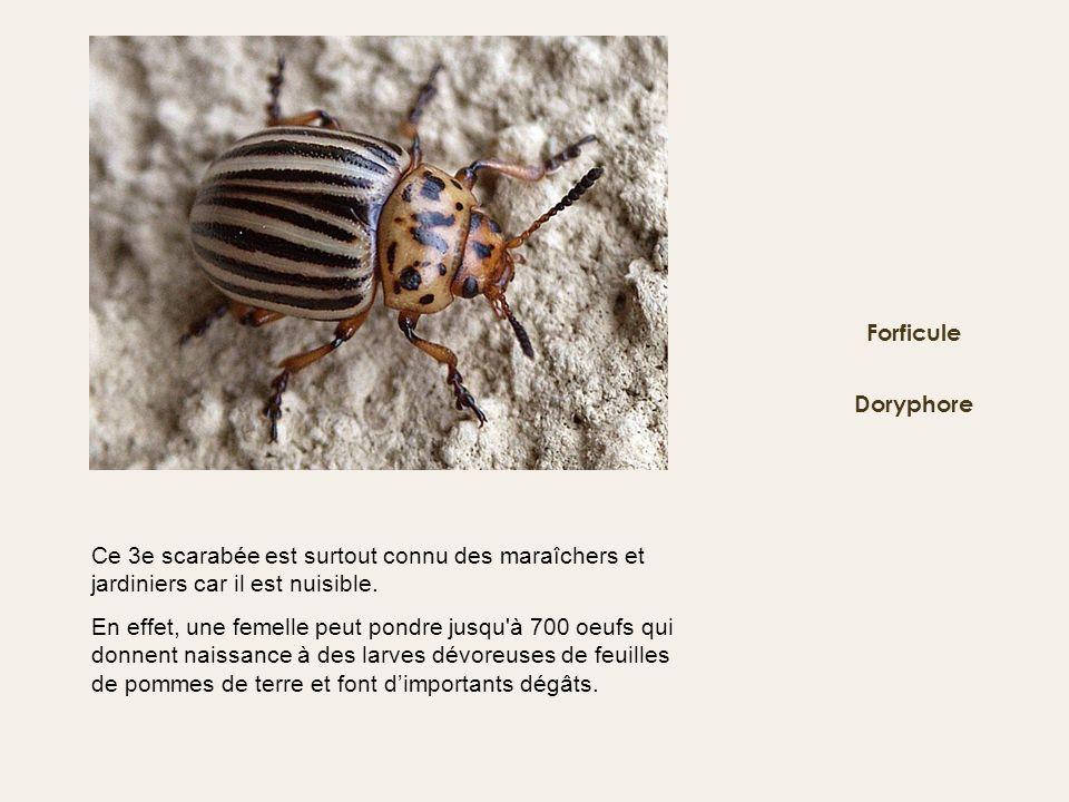 Forficule Doryphore. Ce 3e scarabée est surtout connu des maraîchers et jardiniers car il est nuisible.