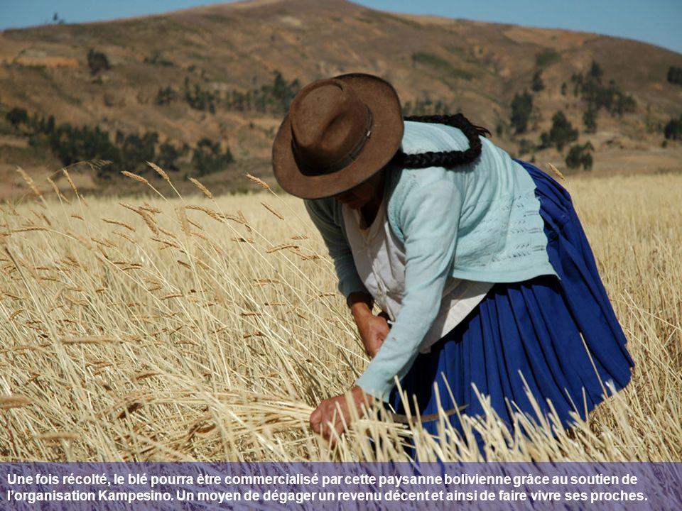 Une fois récolté, le blé pourra être commercialisé par cette paysanne bolivienne grâce au soutien de l'organisation Kampesino.