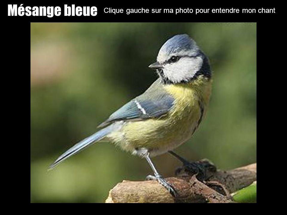 Mésange bleue Clique gauche sur ma photo pour entendre mon chant