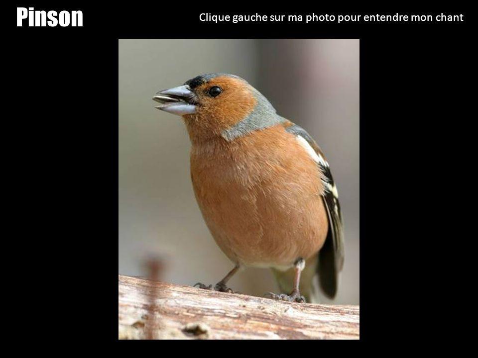 Pinson Clique gauche sur ma photo pour entendre mon chant