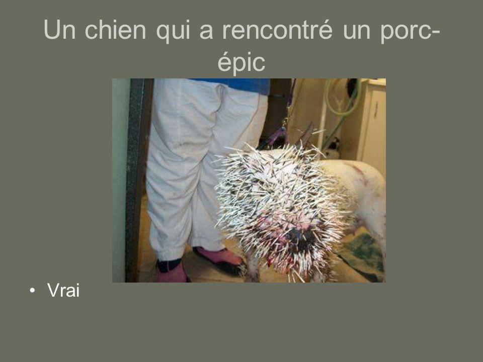Un chien qui a rencontré un porc-épic