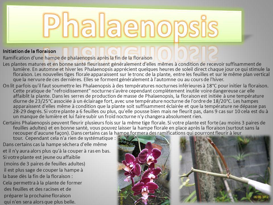 Phalaenopsis Initiation de la floraison