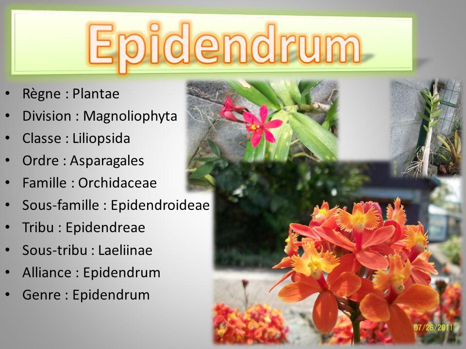 Epidendrum Règne : Plantae Division : Magnoliophyta