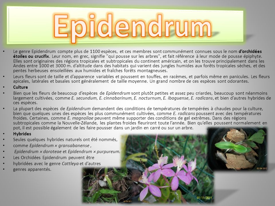 Epidendrum