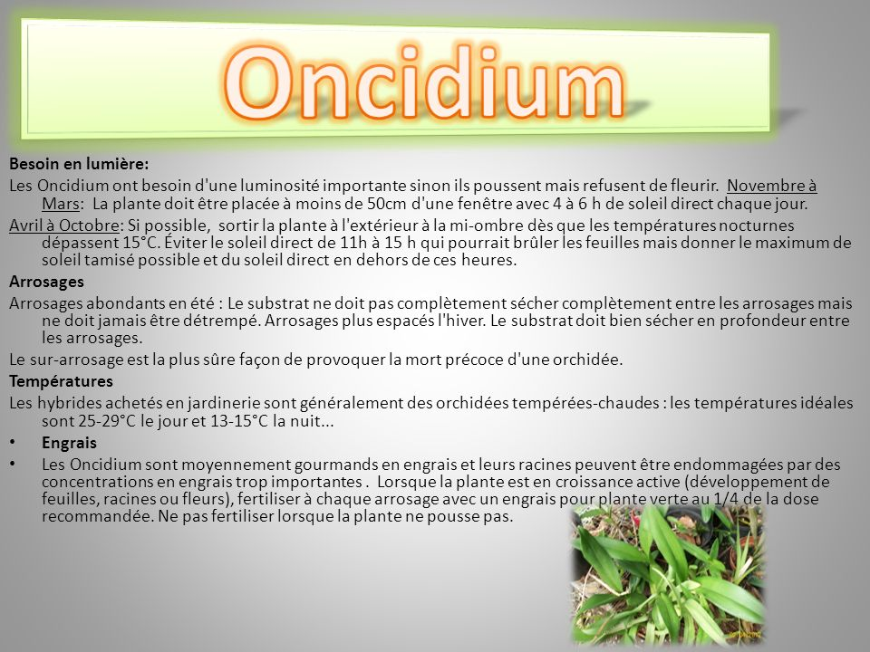 Oncidium Besoin en lumière: