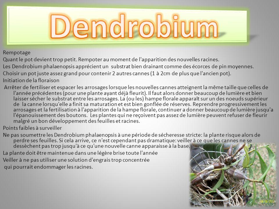 Dendrobium Rempotage Quant le pot devient trop petit. Rempoter au moment de l apparition des nouvelles racines.