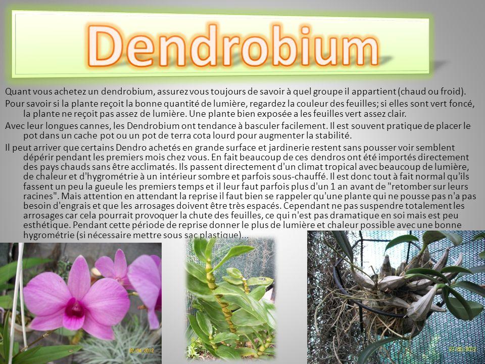 Dendrobium Quant vous achetez un dendrobium, assurez vous toujours de savoir à quel groupe il appartient (chaud ou froid).
