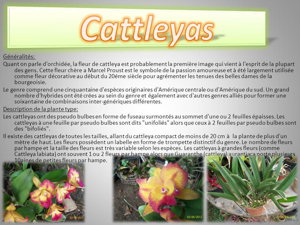 Cattleyas Généralités: