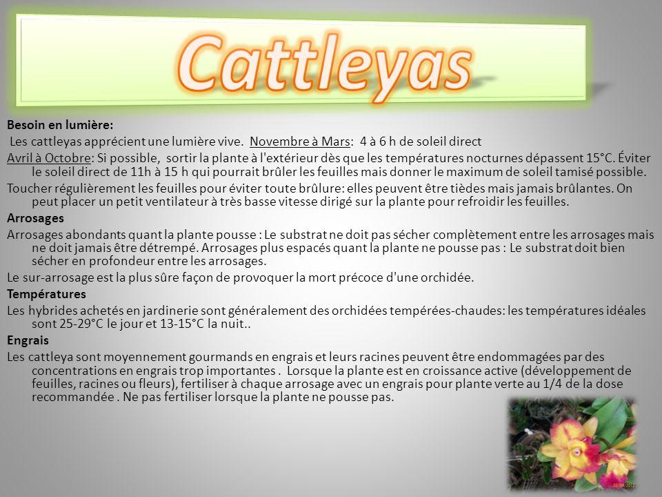 Cattleyas Besoin en lumière: