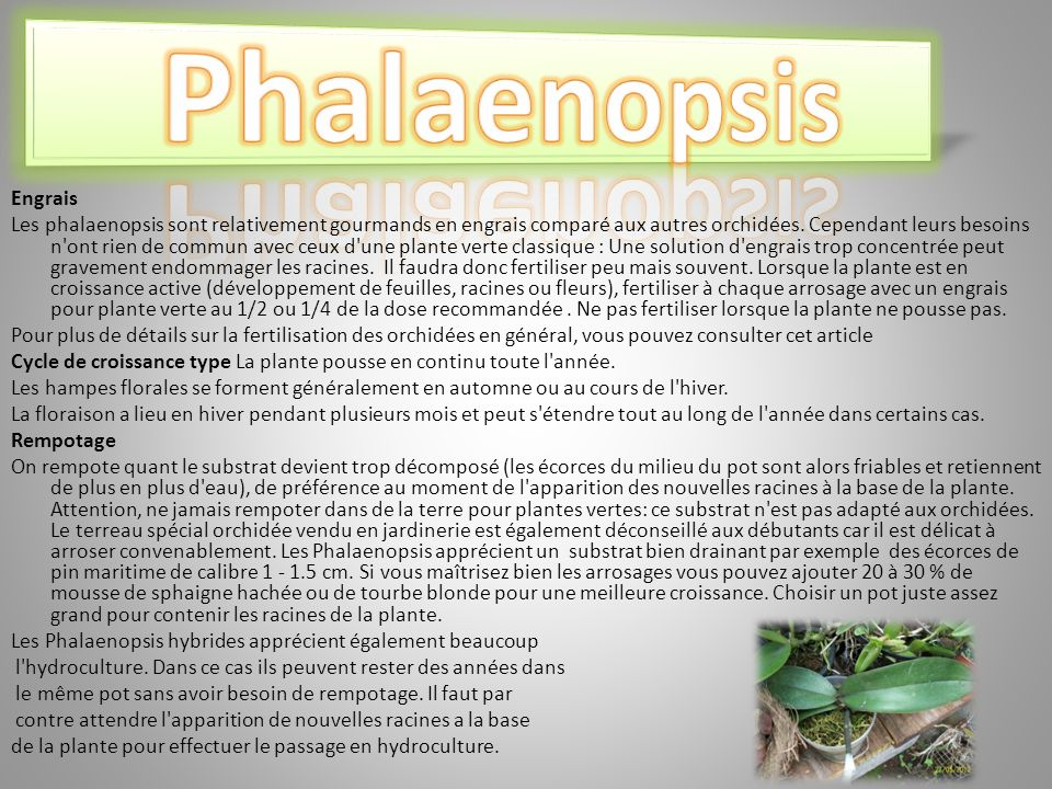 Phalaenopsis Engrais.
