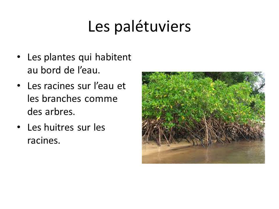 Les palétuviers Les plantes qui habitent au bord de l'eau.