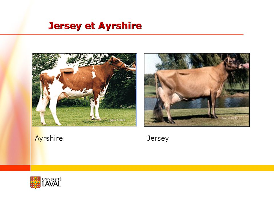 Jersey et Ayrshire Ayrshire Jersey