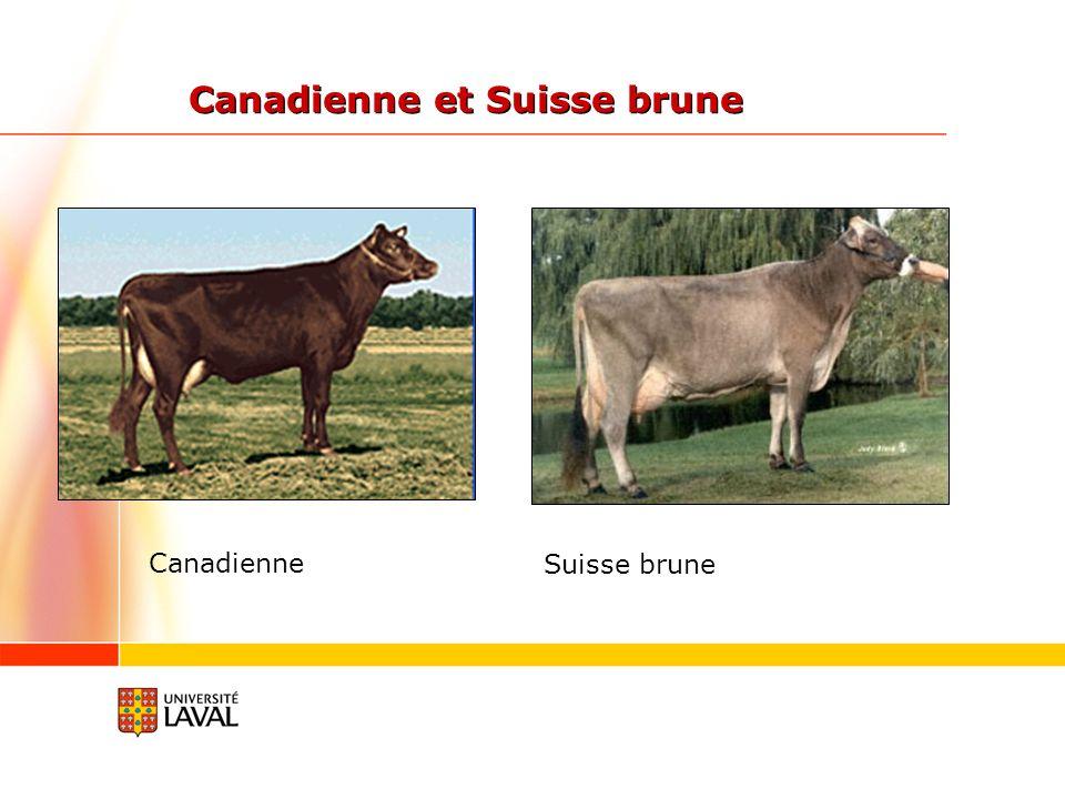 Canadienne et Suisse brune