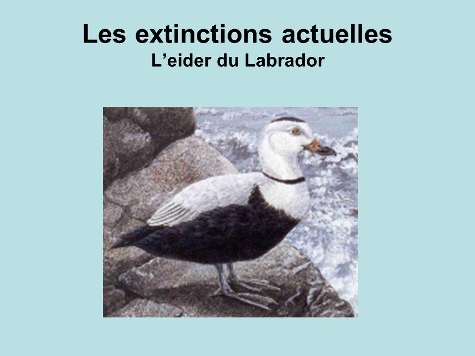 Les extinctions actuelles L'eider du Labrador