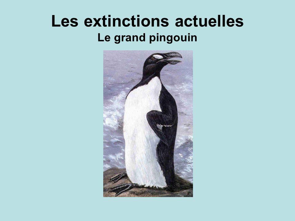 Les extinctions actuelles Le grand pingouin